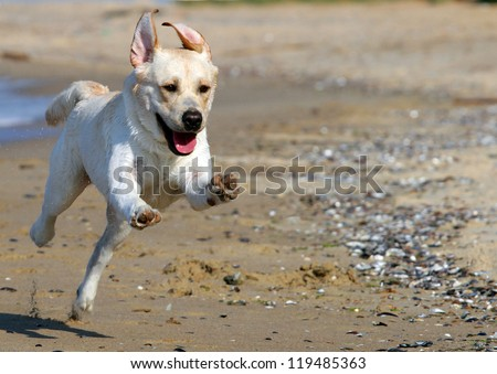 yellow labradors running to the sea in summer - stock photo