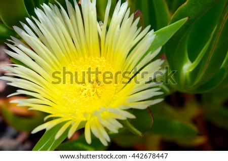 Yellow Lampranthus Spectabilis flower close up. Rayitos de Sol flower growing in Tenerife,Canary Islands,Spain.Selective focus. - stock photo