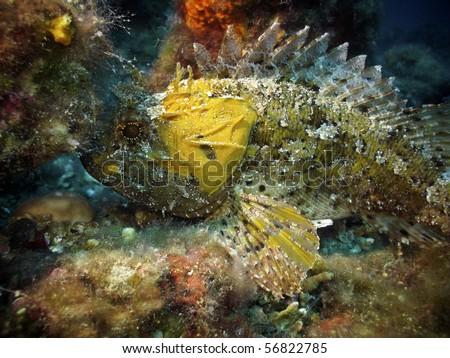 Yellow largescaled scorpionfish - stock photo