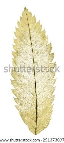 yellow leaf skeleton isolated on white background - stock photo