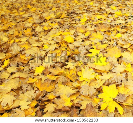 Yellow leaves, autumn maple. as background - stock photo
