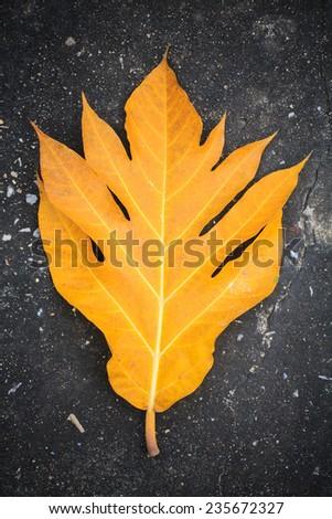 yellow leaves breadfruit on pavement - stock photo