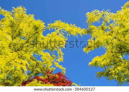 Yellow leaves of acacia and red maple leaves on blue background of October sky. - stock photo