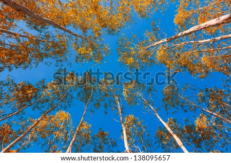 Yellow leaves of eucalyptus Blue Sky Under Perspective view - stock photo
