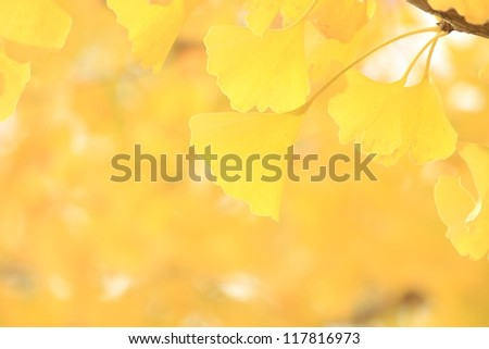 Yellow leaves of ginkgo - stock photo