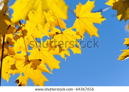 Yellow leaves on the branches in the autumn forest. - stock photo