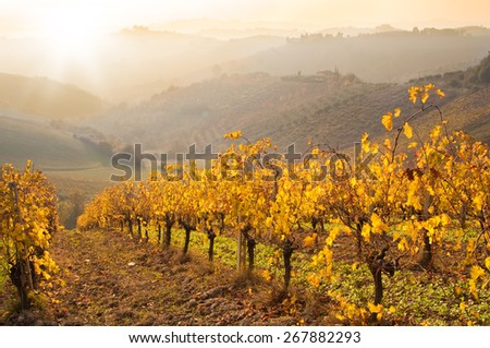 Yellow leaves vineyard in fall - stock photo