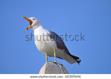 yellow-legged gull standing on a roof calling (laughing) - stock photo