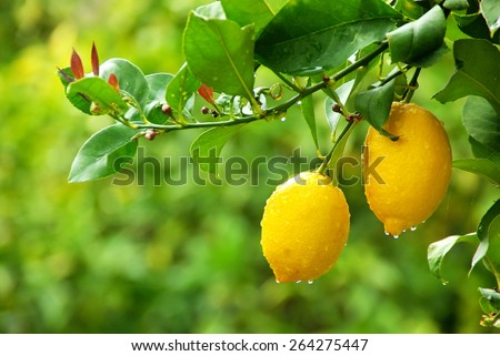 Yellow lemons hanging on tree - stock photo
