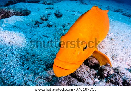 Yellow Leopard grouper (Mycteroperca rosacea), in a school, reefs of the Sea of Cortez, Pacific ocean. Cabo Pulmo National Park, Baja California Sur, Mexico.  The world's aquarium. - stock photo