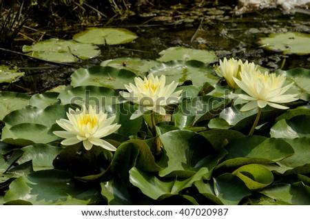 Yellow lilies. - stock photo