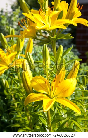 Yellow lillies on the ornamental garden background - stock photo
