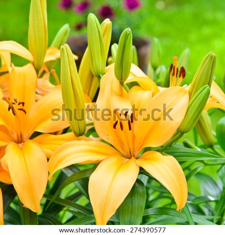 Yellow lily flowers outside in the garden. - stock photo