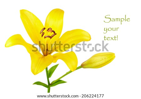 yellow lily isolated on white background - stock photo