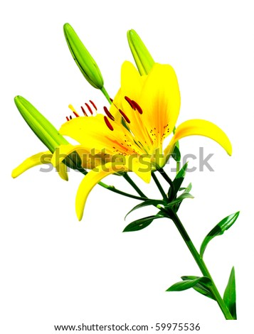 yellow Lily isolated over white background - stock photo