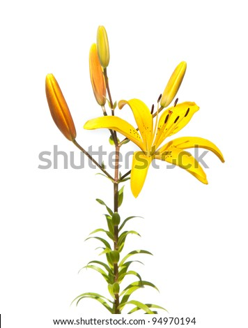 yellow lily isolted on white - stock photo