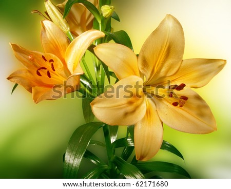 Yellow lily on a colored background - stock photo