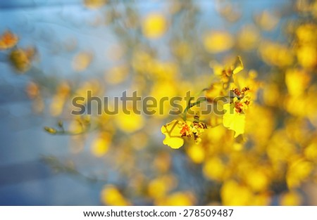 Yellow Little Dancing-lady Orchids Chinese Bonsai Wintersweet Flowers blue background - stock photo