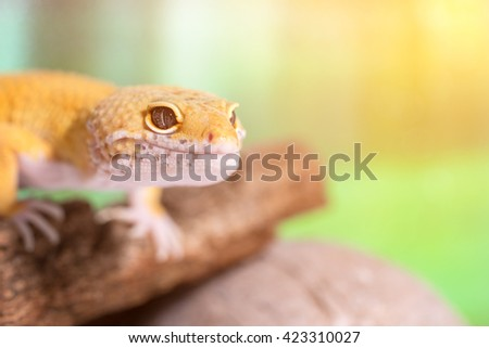 Yellow lizard on driftwood in the terrarium. Toned - stock photo