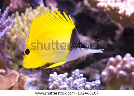yellow longnose butterflyfish tropical fish forcipiger flavissimus, - stock photo