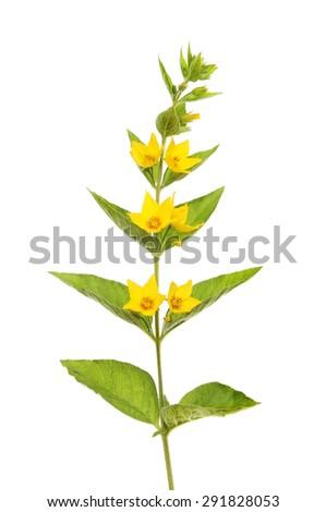 Yellow loosestrife,Lysimachia vulgaris, flowers and foliage isolated against white - stock photo