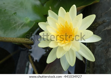 yellow lotus flower or water lily flowers blooming in the pond - stock photo