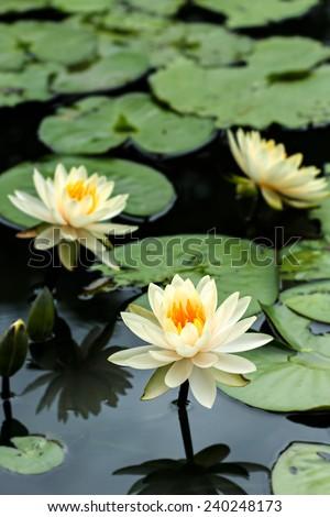 Yellow Lotus flowers and  Lotus flower plants - stock photo