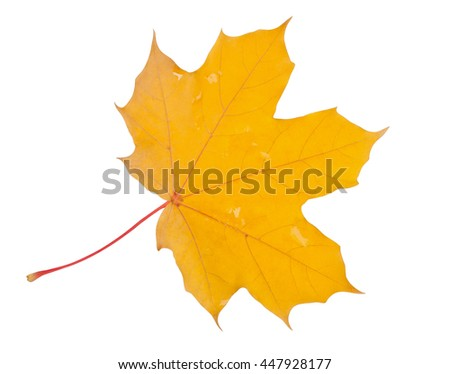 Yellow maple leaf after rain with water drops isolated on white, with clipping path - stock photo