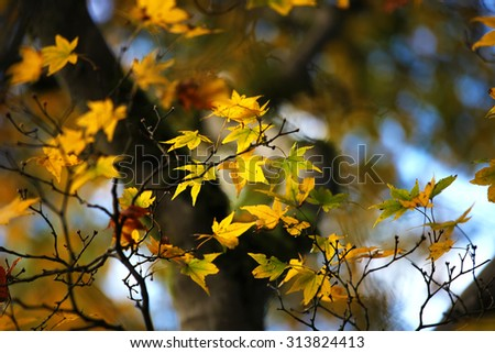 Yellow maple leaves in autumn - stock photo