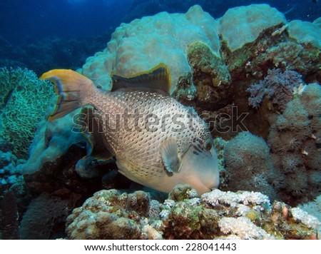 Yellow-margin triggerfish (Pseudobalistes flavimarginatus) swimming over reef - stock photo
