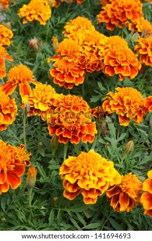 Yellow marigold flowers close up - stock photo
