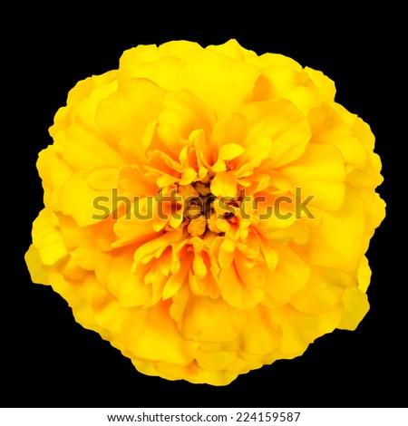 Yellow Marigold Wild Flower Isolated on Black Background. Beautiful Flower - stock photo