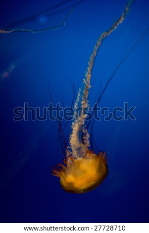 yellow medusa - stock photo