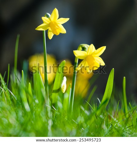 Yellow miniature daffodils in green grass - stock photo