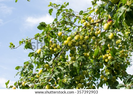 Yellow mirabelle plums on the tree - stock photo