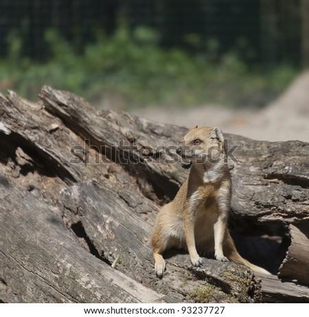 Yellow Mongoose sitting on driftwood - Cynictis penicillata - stock photo