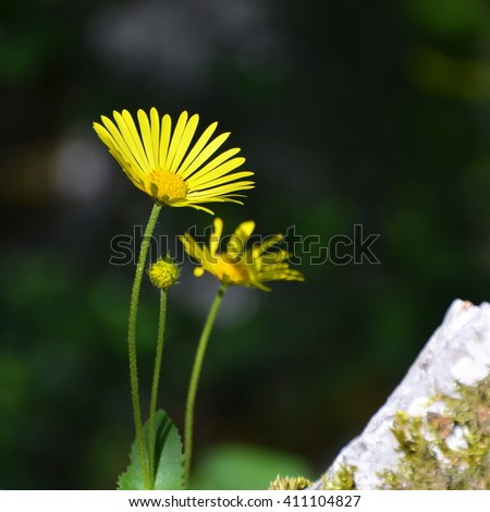 Yellow mountain flowers close-up (Arnica montana) - stock photo