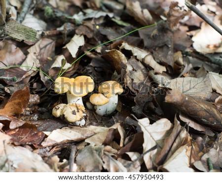 yellow mushroom  - stock photo