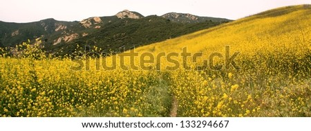 Yellow mustard flowers in a valley, California - stock photo