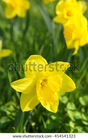 Yellow narcissus in garden - stock photo