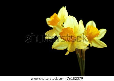 Yellow narcissus on a black background - stock photo