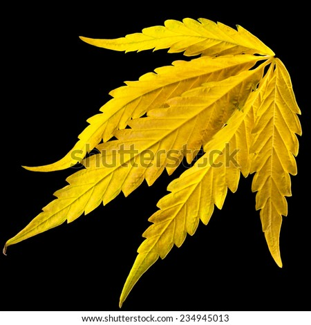 Yellow narcotic leaf. The cannabis plant intended for use as a psychoactive drug and as medicine.  Panoramic shot of marijuana. - stock photo