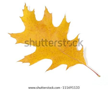 Yellow oak leaf on the white background - stock photo