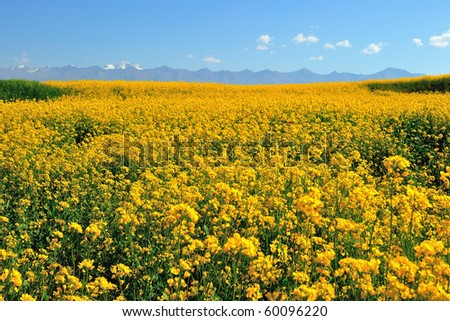 Yellow oil rapeseed field with mountains in the background - stock photo