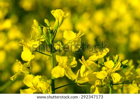 Yellow oilseed rape flower (differential focus) - stock photo