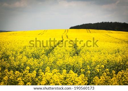 Yellow oilseed rapeseed field - stock photo