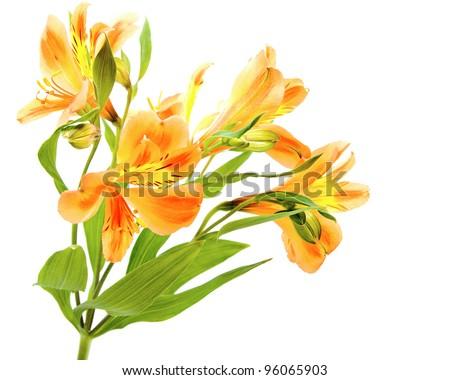 Yellow Orange Alstroemeria Lily Spray isolated on white, green stem spray of more than one flower. - stock photo