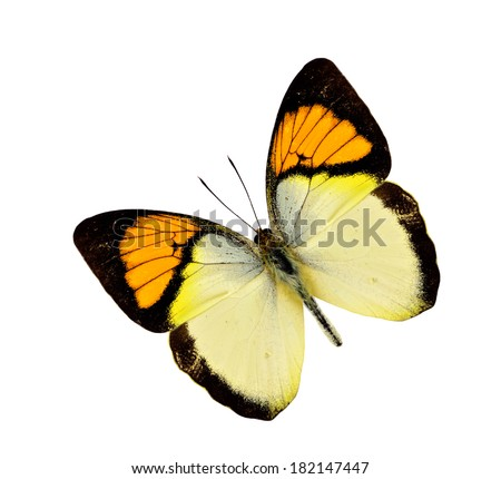 Yellow Orange tip butterfly flying isolated on white background - stock photo