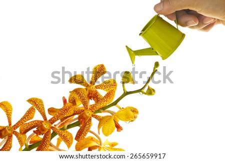 yellow orchid and watering can in hand on white background, soft focus - stock photo