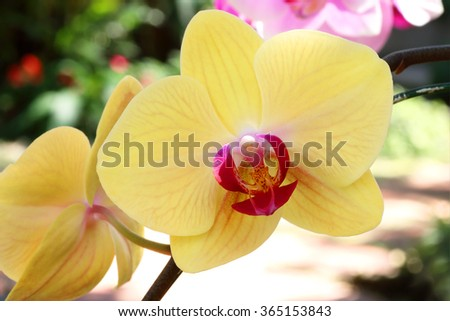 Yellow orchid flower with red pollen - stock photo